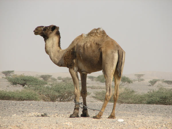 wallpapers of dromedary camels habitat