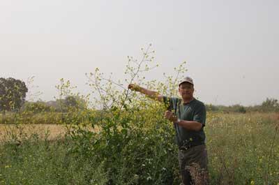 mustard in israel
